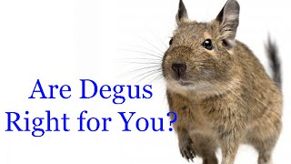 Are Degus Right For You?