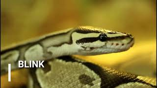 Biggest Snake Facts For Kids - Anacondas, King Cobras & Pythons