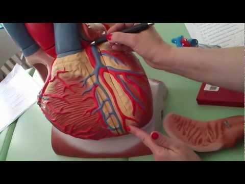 Mięsień sercowy ma właściwości