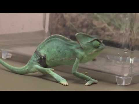 Pet Store Chameleon Right Lateral Abdominal Puncture Wound With Loose Lung