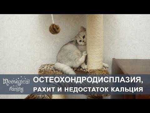 ОСТЕОХОНДРОДИСПЛАЗИЯ, РАХИТ и ГИПОкальцемия у шотландских кошек