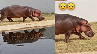 Hippo 🦛 | Hippopotamus wandering in the zoo. Gorakhpur zoo. Animal Kingdom | Wildlife animals indian