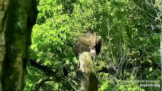 Decorah Bald Eagles D35 Fledges from Stump After getting Knocked Off Perch