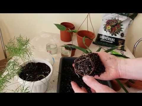 Как посадить цветок в горшок (аспарагус, драцена, гибискус)
