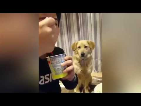 Dog Wants Some Yogurt But Is Too Shy To Ask! (VoiceOver)