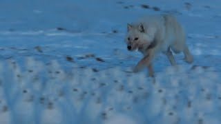 Fox Hunts Drove of Arctic Hares | A Perfect Planet | BBC Earth