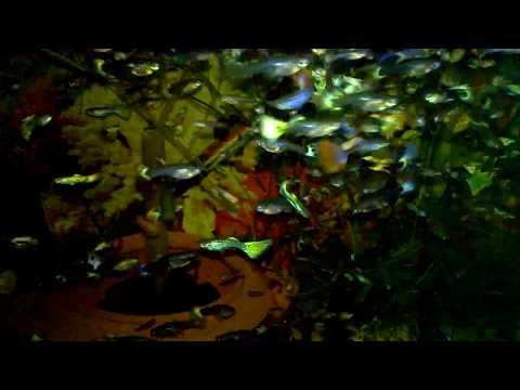 Chanterelle kabute mula sa mga worm