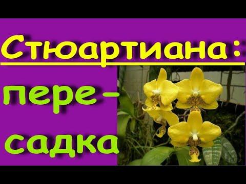 ПЕРЕСАДКА желтой СТЮАРТИАНЫ,состояние на 16 день.Орхидея phal.Stuartiana var.nobilis × sib.