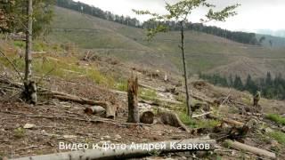 УЖАС!!! Вырубленный лес в Карпатах возле Усть Чёрная 2016 год