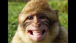 Смешные обезьяны