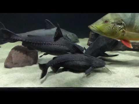 Pterodoras Granulosus & Oxydoras Nigers Feeding
