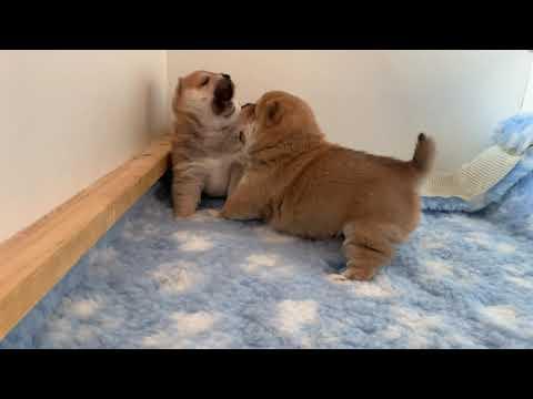 Cuccioli Shiba Inu | video 1