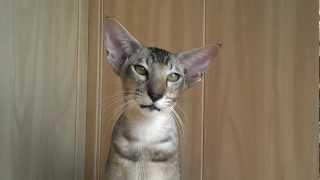 Ориентальный кот Комарик ме-ке-кекает на махалку