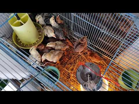 Video Anak ayam arab
