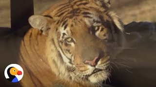 World's Worst Zoo: Tiger & Friends Starved At Terrible Zoo | The Dodo