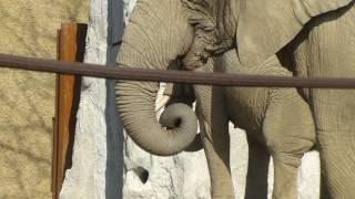 スイス発 バーゼル動物園でゾウが餌食べてます1【スイス情報.com】