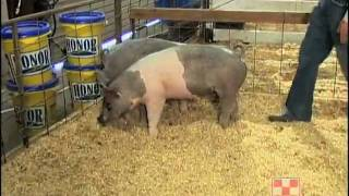 Evaluating Show Pigs
