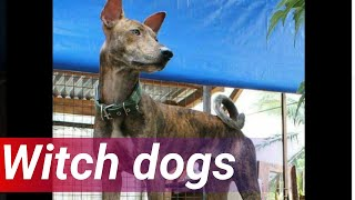 Merong isang uri ng aso sa Bukidnon na sa unang tingin, aakalain mo na ordinaryong asong Pinoy o Aspin. Pero ang breed na ito posible raw na maituring kauna-unahang breed ng indigenous dog sa Pilipinas na mahigit 30,000 taon ng nasa Pilipinas.  24 Oras is GMA Network's flagship newscast, anchored by Mike Enriquez, Mel Tiangco and Vicky Morales. It airs on GMA-7 Mondays to Fridays at 6:30 PM (PHL Time) and on weekends at 5:30 PM. For more videos from 24 Oras, visit http://www.gmanews.tv/24oras.  Subscribe to our YouTube channel for updates about the novel coronavirus disease 2019 (COVID-19) and the community quarantines brought about by the pandemic. Visit http://www.gmanews.tv/COVID19  for the latest updates.   Livestream the latest full episode of 24 Oras: https://bit.ly/31fKsQ5  Watch the latest episodes of your favorite GMA News shows #WithMe! Stay #AtHome and subscribe to GMA News' official YouTube channel and click the bell button to catch the latest videos.  You can watch 24 Oras and other Kapuso programs overseas on GMA Pinoy TV. Visit https://www.gmanetwork.com/international to subscribe.  GMA promotes healthy debate and conversation online.  Any abusive language that does not facilitate productive discourse will be blocked from this post.     GMA upholds ethical standards of fairness, objectivity, accuracy, transparency, balance and independence.   Walang Kinikilingan, Walang Pinoprotektahan, Serbisyong totoo lamang. #GMANews   Subscribe to the GMA News channel: https://www.youtube.com/user/gmanews  Visit the GMA News and Public Affairs Portal: http://www.gmanews.tv  Connect with us on: Facebook: http://www.facebook.com/gmanews Twitter: http://www.twitter.com/gmanews Instagram: http://www.instagram.com/gmanews  #LatestNews