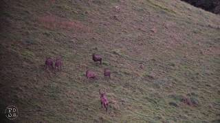 Brame du cerf élaphe 2017 HD - Romain Datcharry Wildlife and Nature