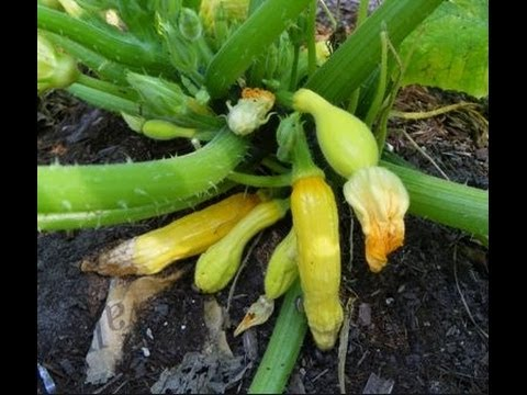 , title : 'Common Problems of Zucchini and Squash Plants in Urban Patio / Container Garden