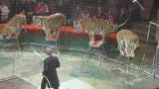 Цирк суматранские тигры