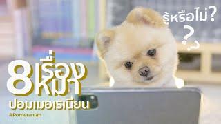 8 เรื่องราวของน้องหมาปอมเมอเรเนียน!