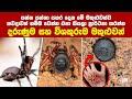 මේ වගේ සතුරෙක්නම් කවදාවත් හම්බ වෙන්න එපා කියල ප්රාර්තනා කරන්න | Most Venomous Spiders | Dasatha