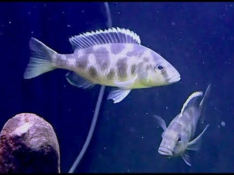 ジラフィーシクリッド Nimbochromis venustus