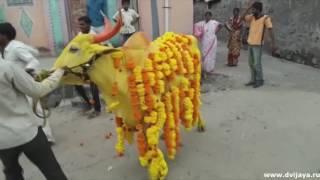 Indian bullfighter - Индийский тореадор