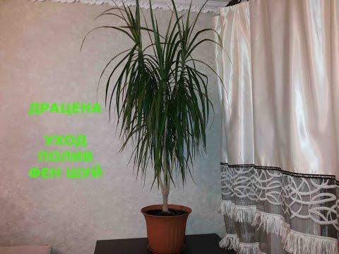 Драцена Дерево Счастья Уход в домашних условиях Полив Мой опыт Драконовое дерево