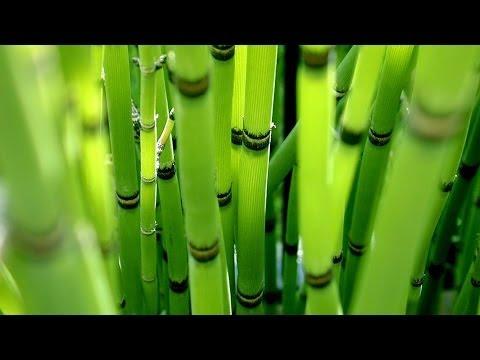 Посадка и уход за декоративным бамбуком. GuberniaTV