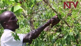 NTVGREEN: Ugandan farmers paid to grow trees