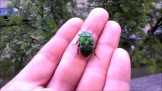 Живи и радуйся The release of the beetle live  Cetonia aurata жук бронзовка