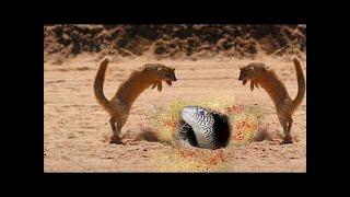 Mongoose Vs Mamba Free Video Search Site Findclip