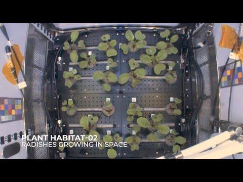 Астронавти МКС зібрали перший урожай редиски і показали процес зростання на відео