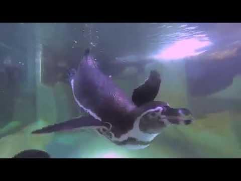La primera navidad de los pingüinos de Humboldt