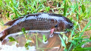 Find and Catch Climbing Perch Fish in Reverse Water Ponds Rain day