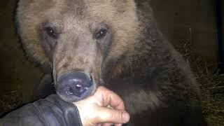 Смотреть онлайн Как укладывать своего домашнего медведя
