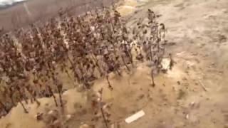 Подвой яблони Клоновый 54-118 от компании Крестьянское фермерское хозяйство Сеянец - видео