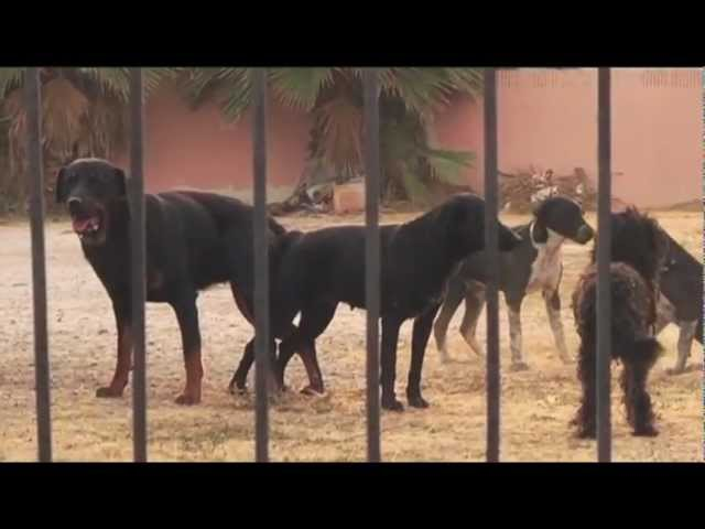 DOGS ON STREET CHASE FEMALE IN HEAT (FULL)