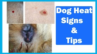 Dog Heat Signs & Tips   In Urdu   Animalia Dot Pk    Vet Furqan Younas