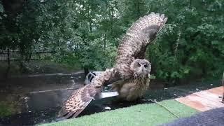 Сова дождалась дождя! Филин Ёль и гроза. Eagle Owl and  Thunderstorm