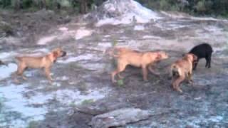 Black Mouth Cur Bay Dogs For Sale! 386-847-3205