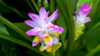 Turmeric Flowers are STUNNING! We Grow A Whole Spectrum of Curcuma Varieties