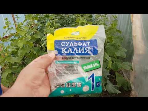 Выращивание огурцов и помидор в теплице, подкормка огурцов калийными удобрениями, урожай огурцов.