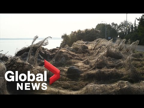 Thousands of spiders cover Greek coastline in cobwebs