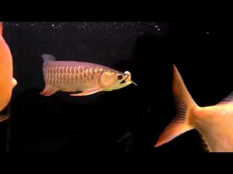 ภาพสีแดงปรสิตปลา