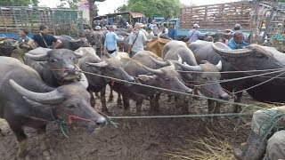 Buffalo Auction in Thailand
