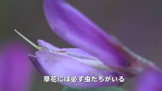 30秒の心象風景526・野の花10~マメ科植物~.m2ts