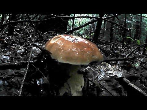 Білі Гриби після сильних злив 24.06.2020 \ White Mushrooms after heavy rains 24.06.2020
